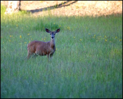 Deer in thePasture