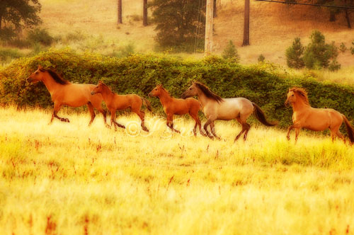 orton-herd2